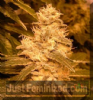 Female Auto Kush Feminised 4 Marijuana Seeds